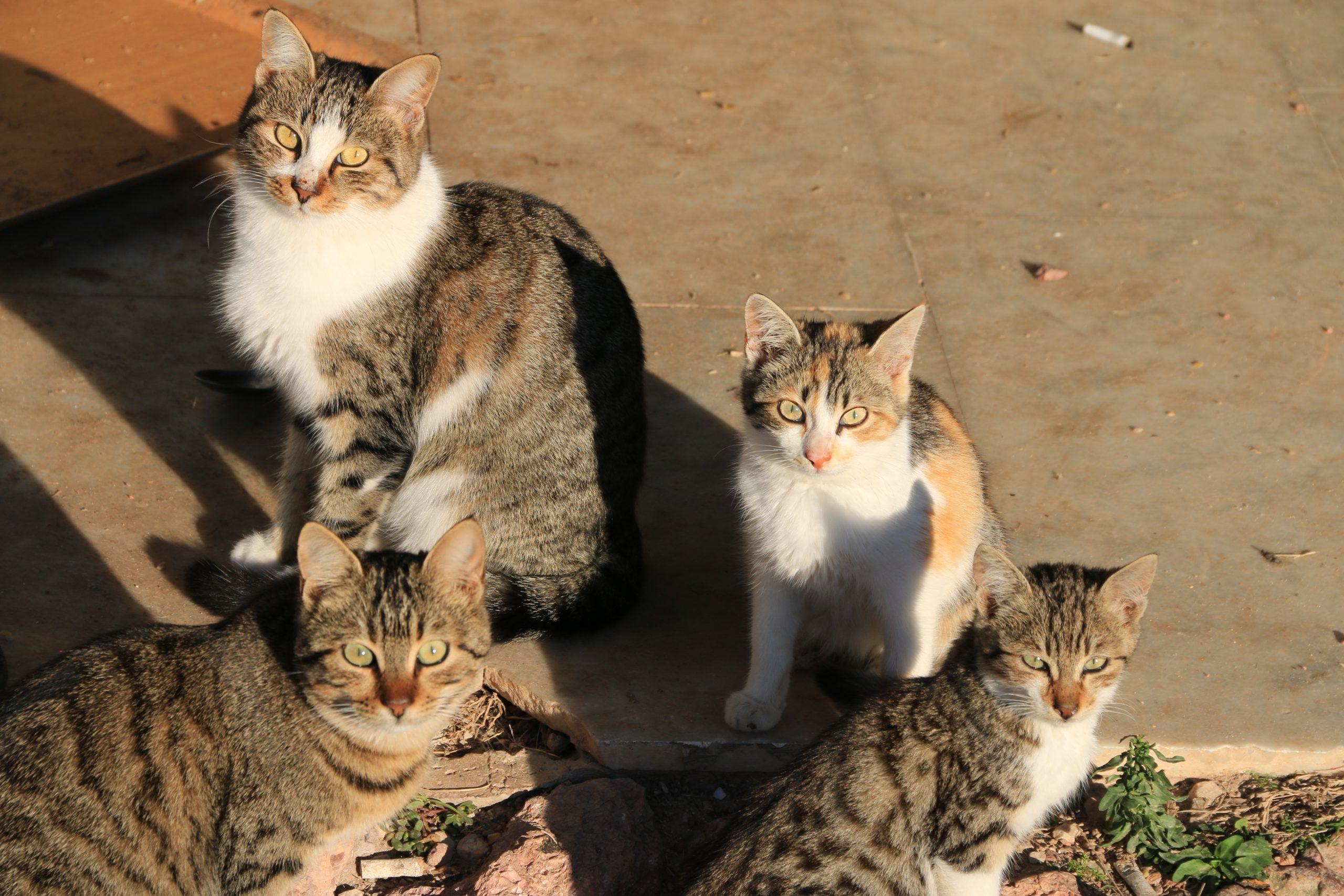 Stérilisation du chat : Quoi ? Quand ? Pourquoi ?